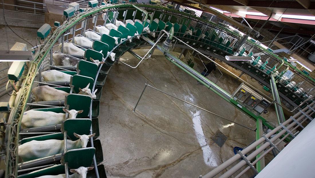 Koyun Keçi Süt Sağım Sistemi Video